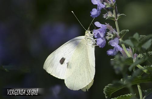 FloresdelRomerocomún